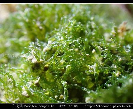 布氏藻 Boodlea composita_08.jpg