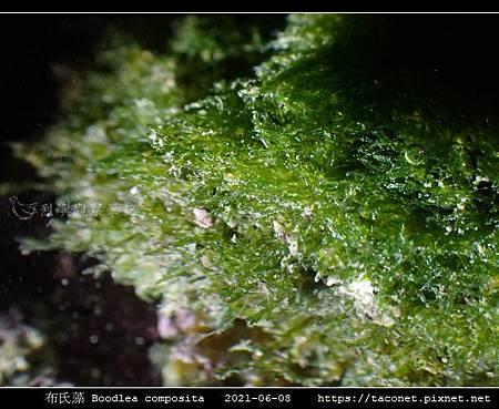 布氏藻 Boodlea composita_10.jpg