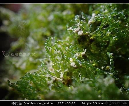 布氏藻 Boodlea composita_09.jpg