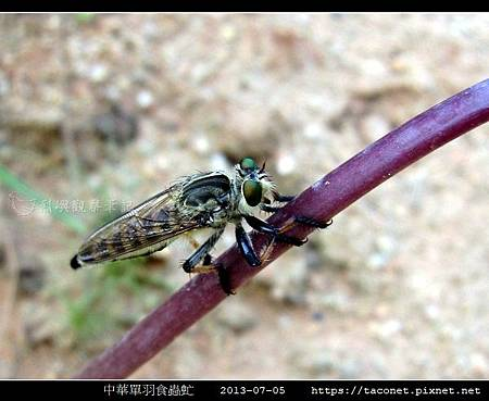 中華單羽食蟲虻 Cophinopoda chinensis_3.jpg