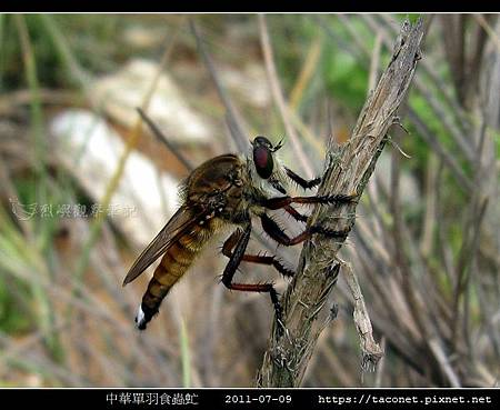 中華單羽食蟲虻 Cophinopoda chinensis_8.jpg