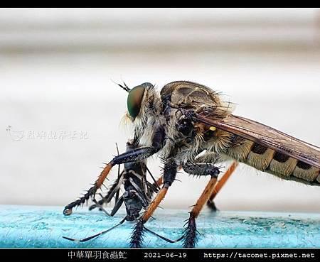 中華單羽食蟲虻 Cophinopoda chinensis_4.jpg