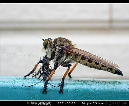 中華單羽食蟲虻 Cophinopoda chinensis_5.jpg