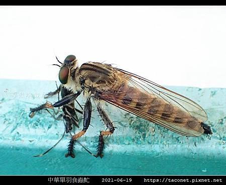 中華單羽食蟲虻 Cophinopoda chinensis_6.jpg