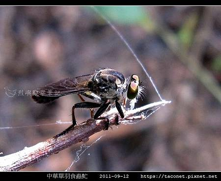 中華單羽食蟲虻 Cophinopoda chinensis_1.jpg