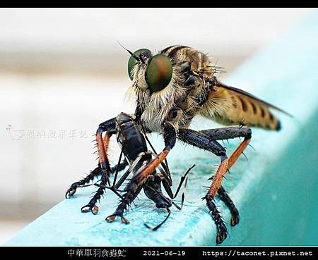 中華單羽食蟲虻 Cophinopoda chinensis_7.jpg