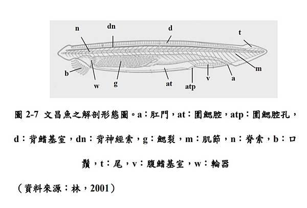 文昌魚型態.jpg