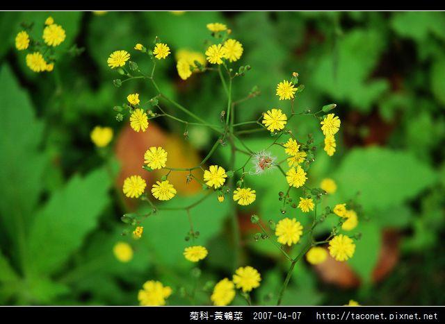 菊科-黃鵪菜_03.jpg