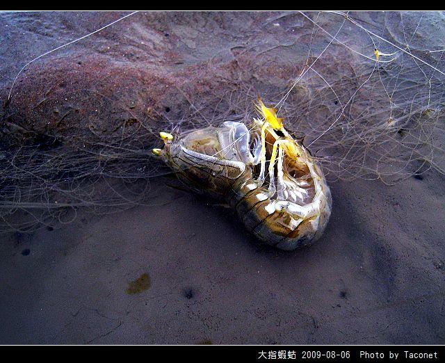 大指蝦蛄_05.jpg