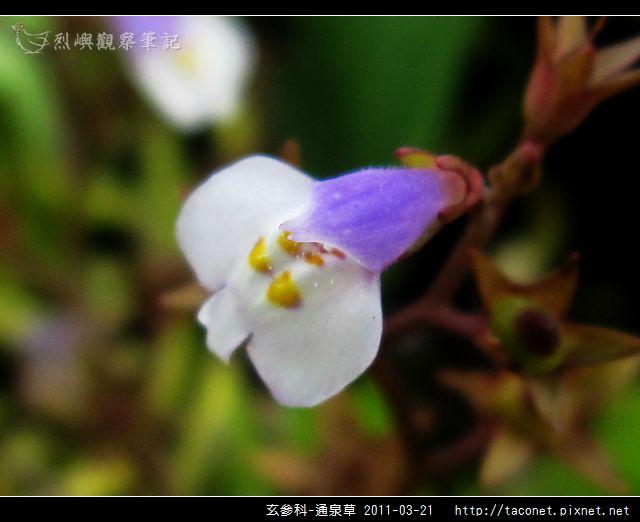 玄參科-通泉草_08.jpg