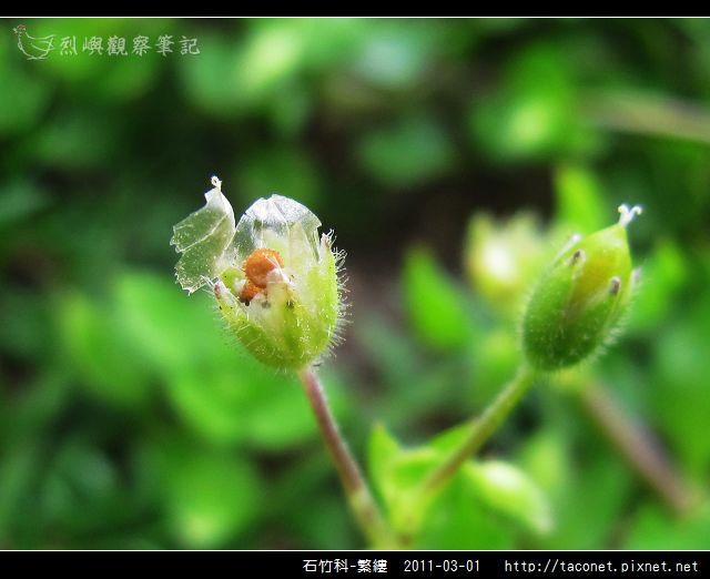 石竹科-繁縷_19.jpg