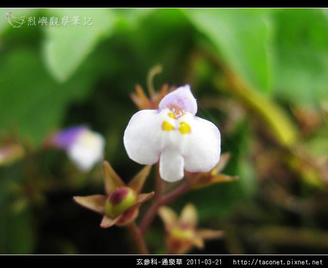 玄參科-通泉草_03.jpg
