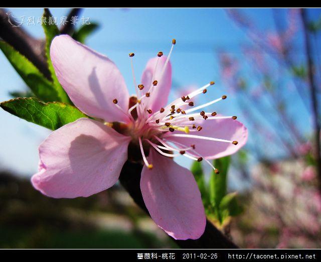 薔薇科-桃花_24.jpg
