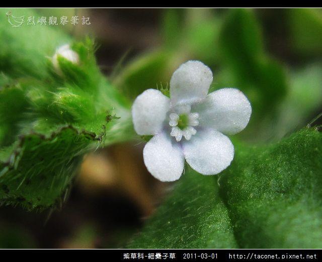 紫草科-細纍子草_08.jpg
