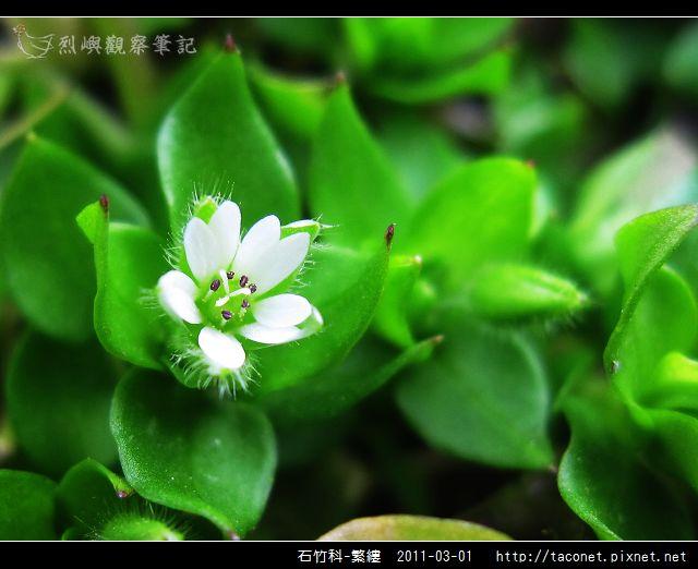 石竹科-繁縷_14.jpg