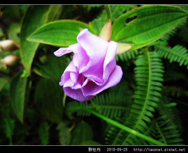 野牡丹_07.jpg