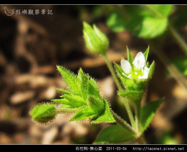 石竹科-無心菜_15.jpg