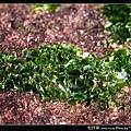 牡丹菜_01.jpg