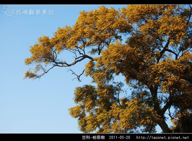 豆科-相思樹_05.jpg