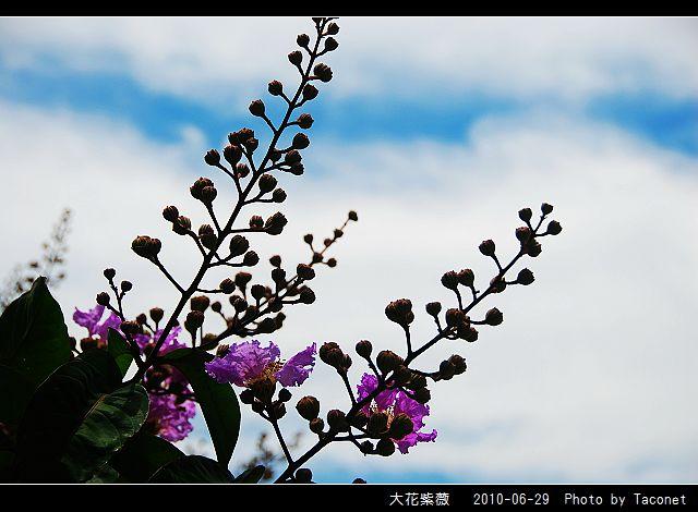 大花紫薇_14.jpg