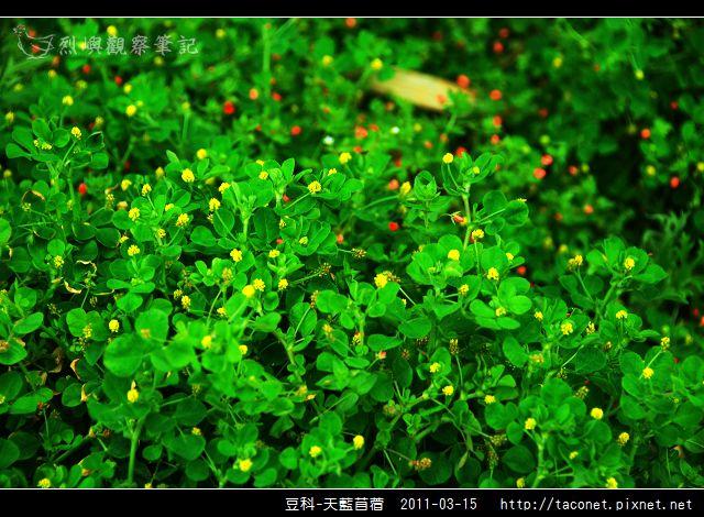 豆科-天藍苜蓿_01.jpg
