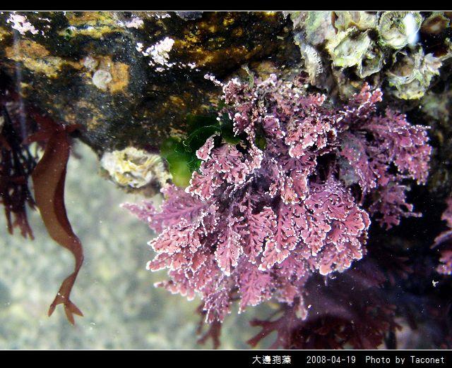 大邊孢藻_10.jpg