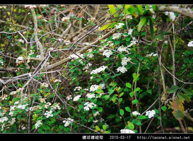 繡球繡線菊_04.jpg