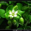 石竹科-繁縷_08.jpg