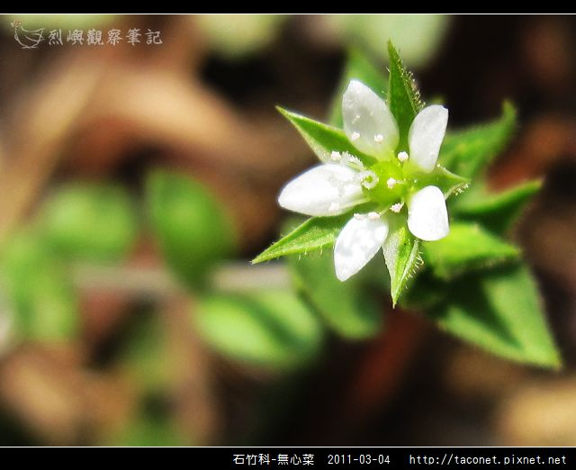 石竹科-無心菜_10.jpg
