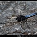 鼎脈蜻蜓_02.jpg