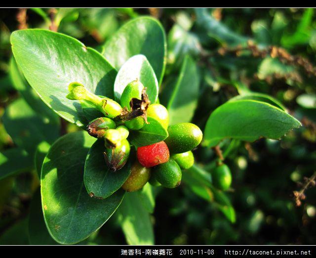 瑞香科-南嶺蕘花_05.jpg