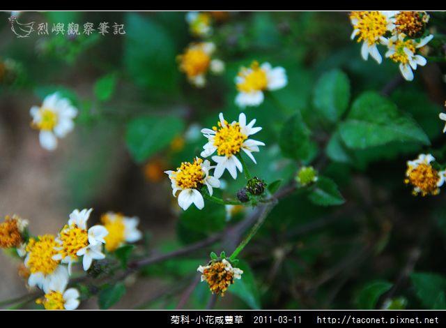 菊科-小花咸豐草_03.jpg