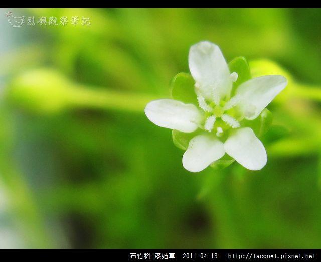 石竹科-漆姑草_06.jpg