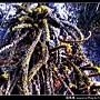 鼠尾藻_07.jpg