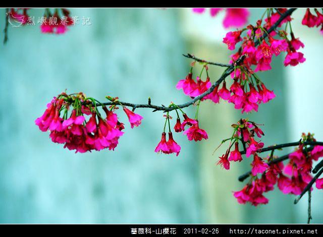 薔薇科-山櫻花_07.jpg