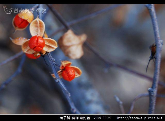 衛矛科-南華南蛇藤_01.jpg