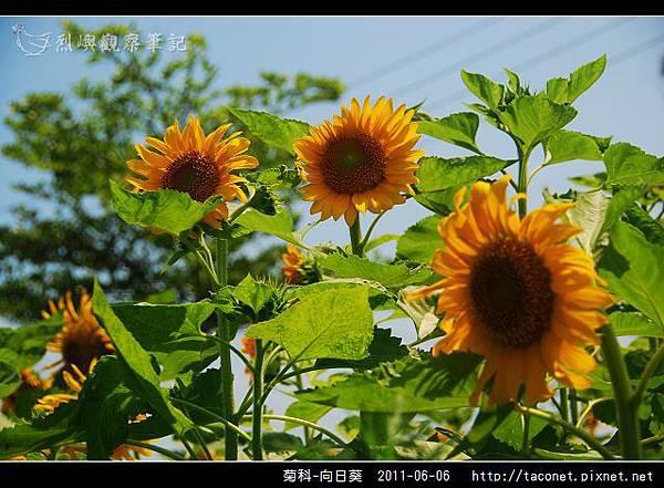 菊科-向日葵_02.jpg
