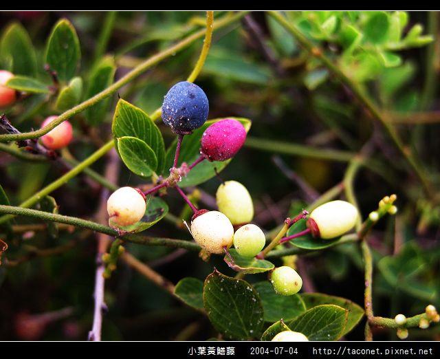 小葉黃鱔藤_07.jpg