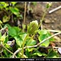 堇菜科-菲律賓堇菜_08.jpg