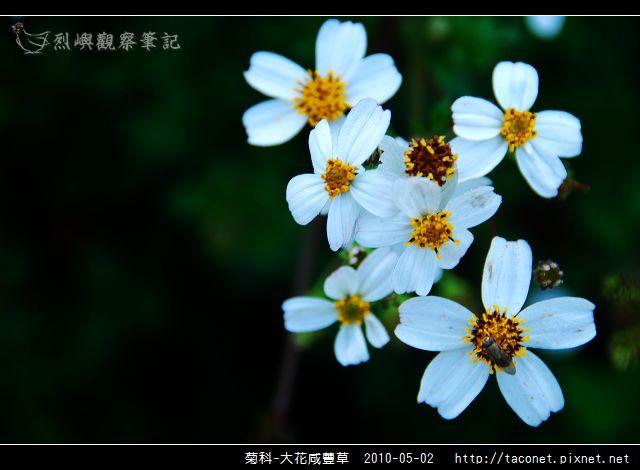 菊科-大花咸豐草_08.jpg