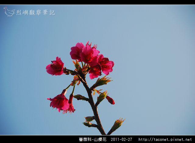 薔薇科-山櫻花_28.jpg