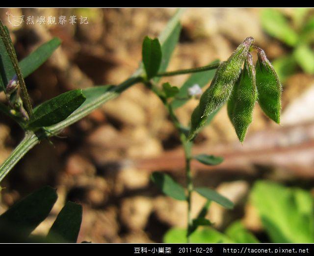 豆科-小巢菜_06.jpg