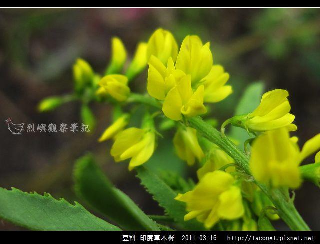 豆科-印度草木樨_08.jpg