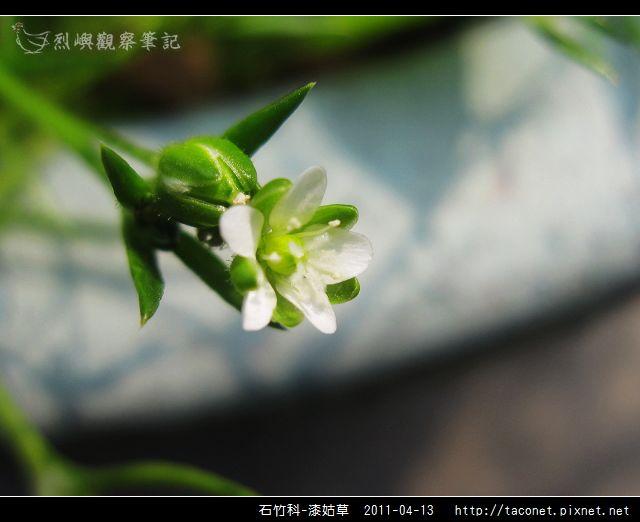 石竹科-漆姑草_10.jpg