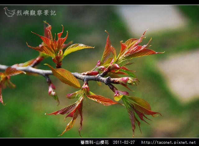 薔薇科-山櫻花_31.jpg