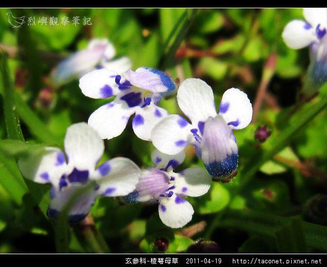 玄參科-棱萼母草_14.jpg