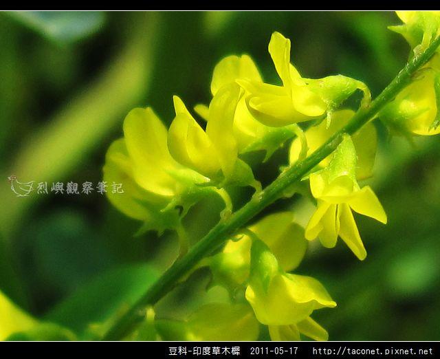 豆科-印度草木樨_16.jpg