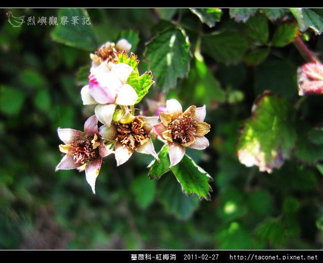 薔薇科-紅梅消_06.jpg