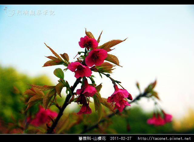 薔薇科-山櫻花_16.jpg