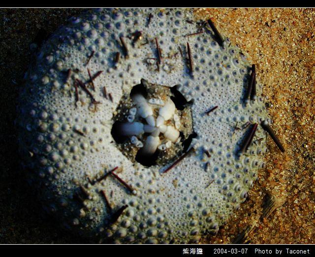 紫海膽_01.jpg